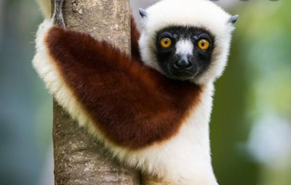 Lemur ne aq snbsjshskahwjsh