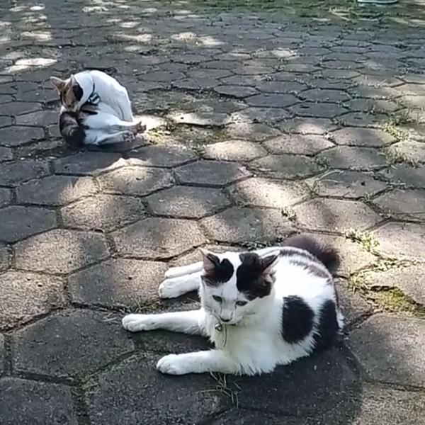 Ada yang pelihara kucing coklat putih Pap dong Muehehe