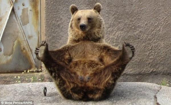 pénisz medve)