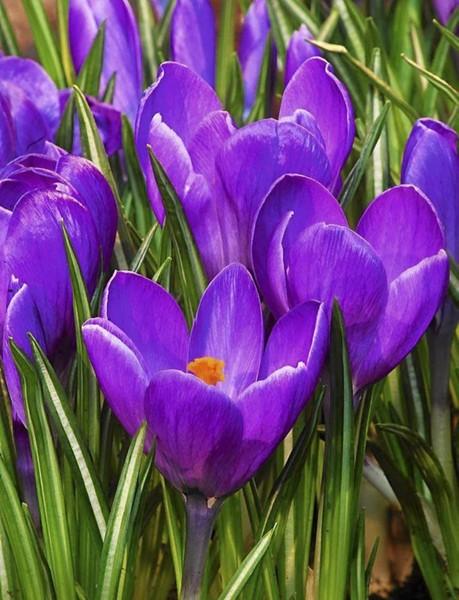Który kwiat wiosenny lubisz najbardziej