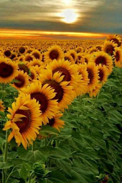 здравствуйте   кд прикрепите картинку на тему  лето подсолнухи всем желаю