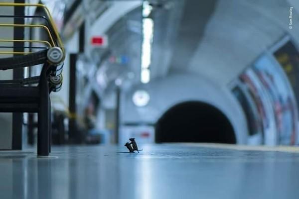 قتال بين فأرين في نفق مترو لندن الصورة مرشحة لجائزة تصوير التاريخ الطبيعي   by