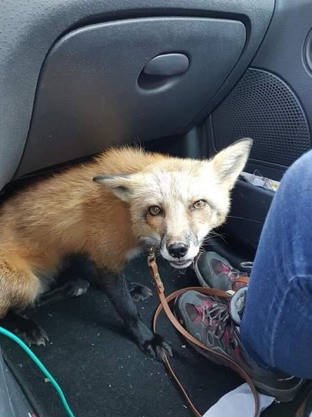 Wollte Fuchs immer haben