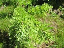 какое дерево самое распространенное в России