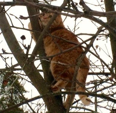 Рыжуля такая лапочка И такой большой Взрослый котя Моей кошке 6 лет русская